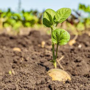 Potato-Seed-Hero - Potato Seed Hero 300x300